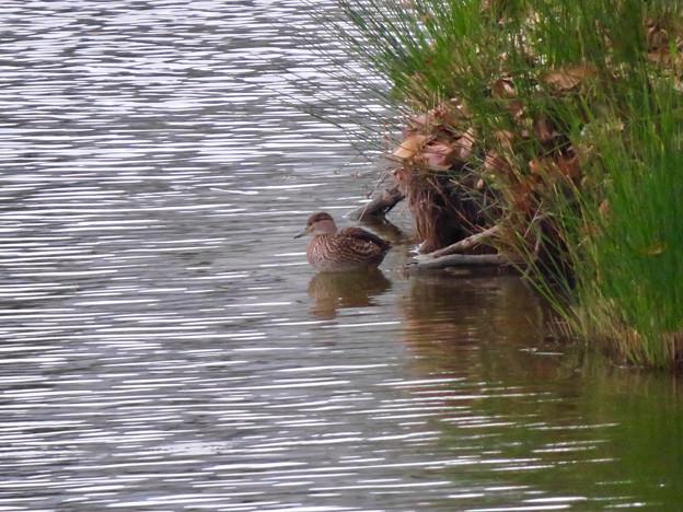 落合公園の池にいたコガモの夫婦 - 1