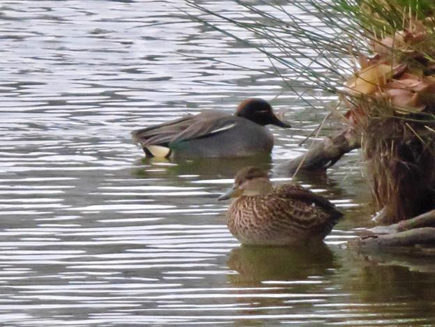 落合公園の池にいたコガモの夫婦 - 5