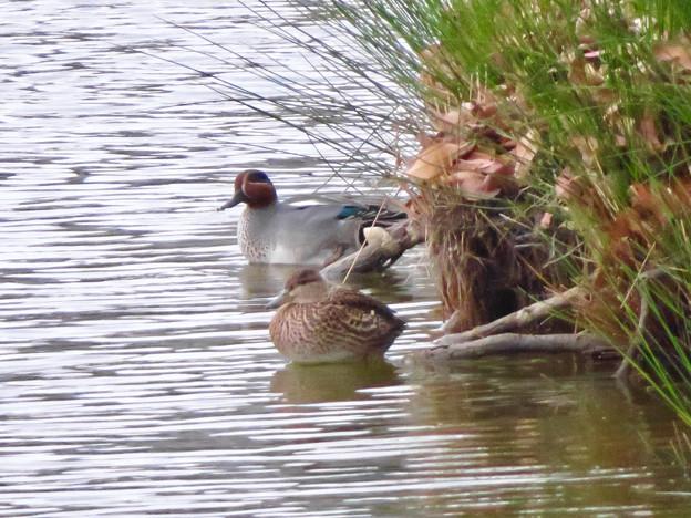 落合公園の池にいたコガモの夫婦 - 9