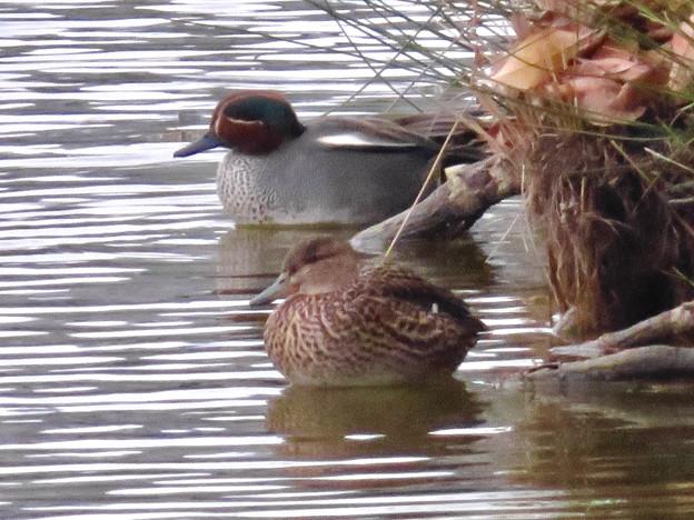 落合公園の池にいたコガモの夫婦 - 11