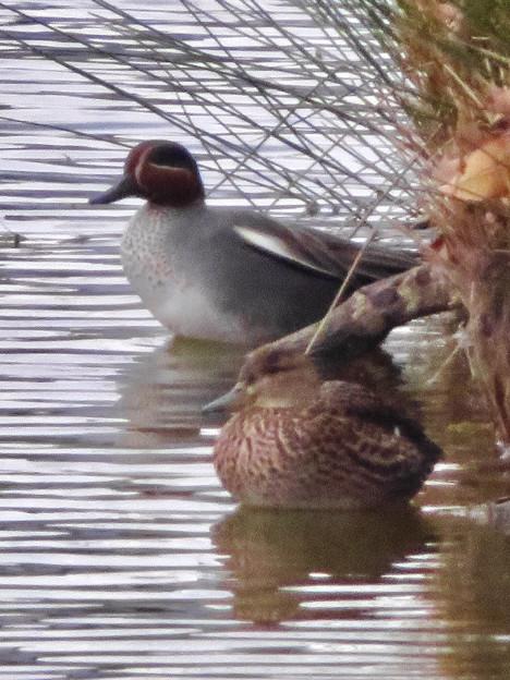 落合公園の池にいたコガモの夫婦 - 12