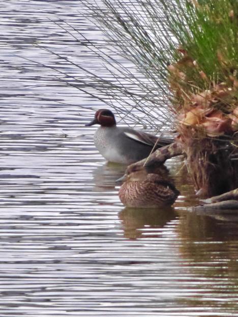 落合公園の池にいたコガモの夫婦 - 14