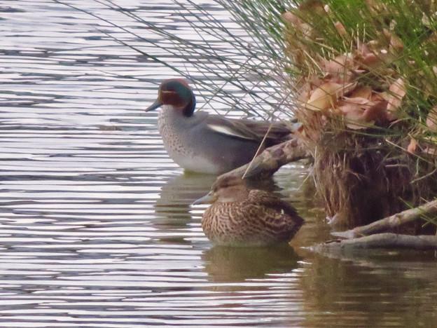 落合公園の池にいたコガモの夫婦 - 15