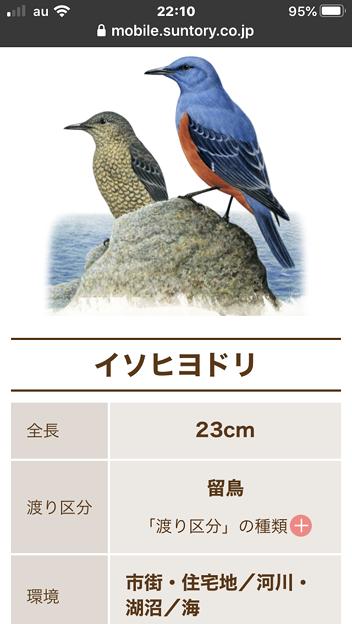サントリーの愛鳥活動「日本の鳥百科」- 5:イソヒヨドリ