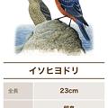 Photos: サントリーの愛鳥活動「日本の鳥百科」- 5:イソヒヨドリ
