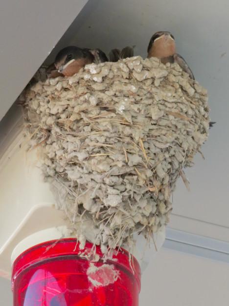 ギュウギュウ詰めだったツバメの巣 - 2