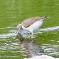 Photos: 川の水を飲むイソシギ