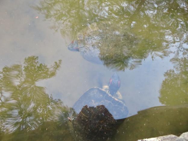 大久手池にいる大きなアカミミガメ - 4