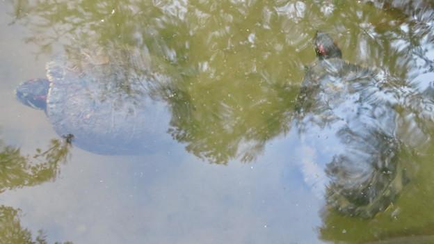 大久手池にいる大きなアカミミガメ - 5