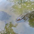 大久手池にいる大きなアカミミガメと鯉 - 1