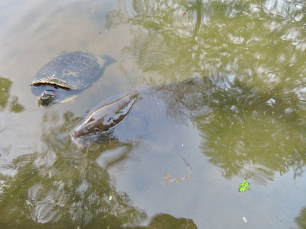 大久手池にいる大きなアカミミガメと鯉 - 2