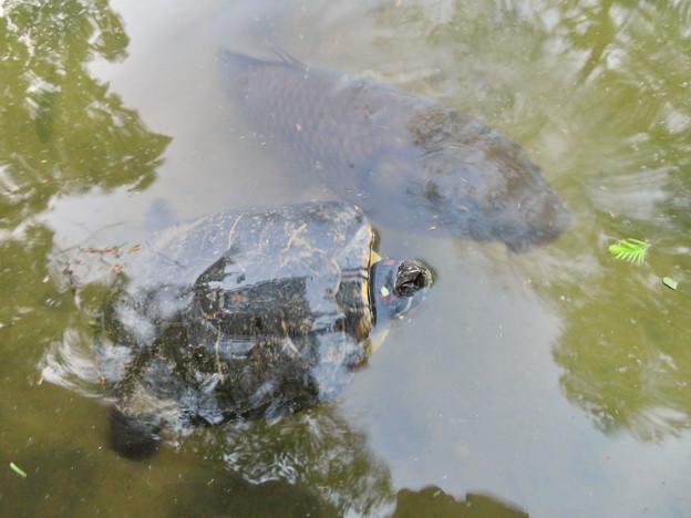 大久手池にいる大きなアカミミガメと鯉 - 3