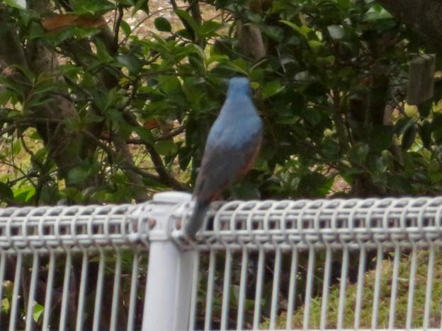 桃花台中央公園にいたイソヒヨドリ