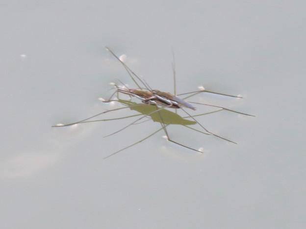 落合公園の池に沢山集まってたアメンボ - 2:交尾中?