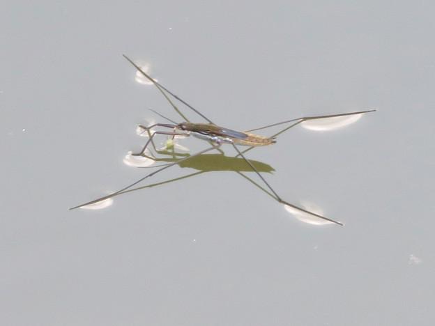 落合公園の池に沢山集まってたアメンボ - 3