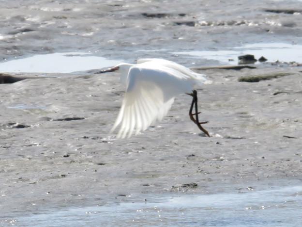藤前干潟 - 42:羽ばたくシラサギ