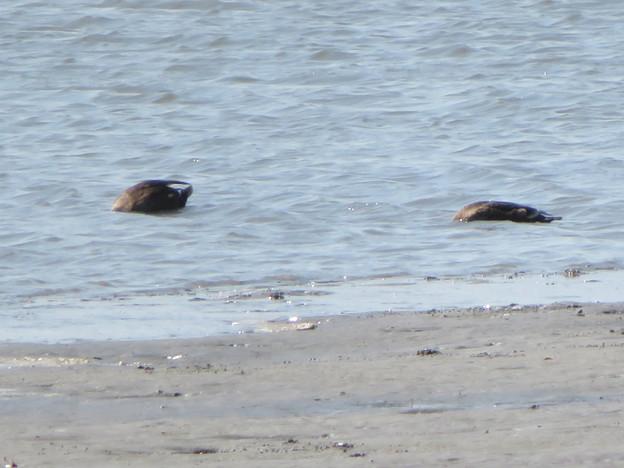 藤前干潟 - 46:水に潜って漁をしてたカモ