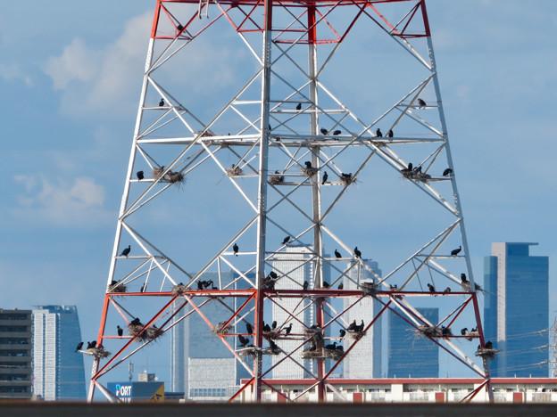 庄内川と新川の間にある送電線鉄塔の上に沢山のカワウの巣!? - 1