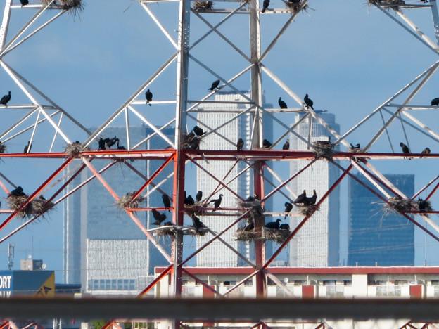 庄内川と新川の間にある送電線鉄塔の上に沢山のカワウの巣!? - 2