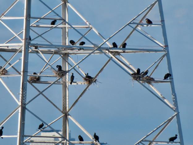 庄内川と新川の間にある送電線鉄塔の上に沢山のカワウの巣!? - 3