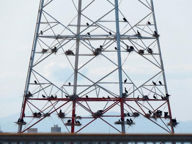 庄内川と新川の間にある送電線鉄塔の上に沢山のカワウの巣!? - 7