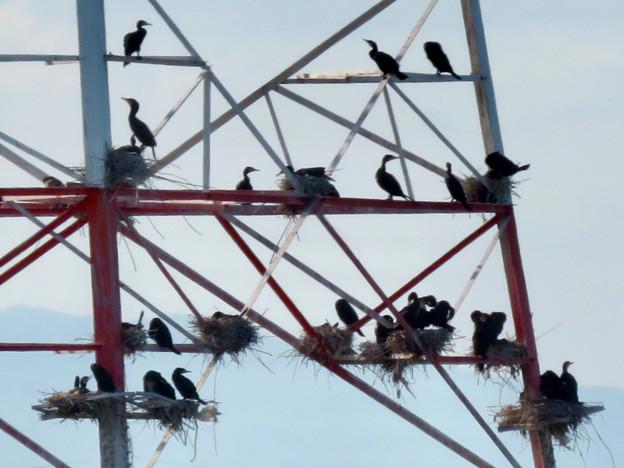 庄内川と新川の間にある送電線鉄塔の上に沢山のカワウの巣!? - 8