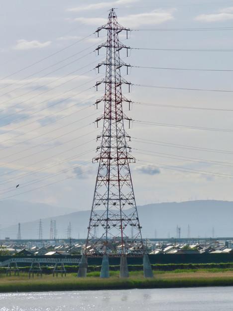 庄内川と新川の間にある送電線鉄塔の上に沢山のカワウの巣!? - 9