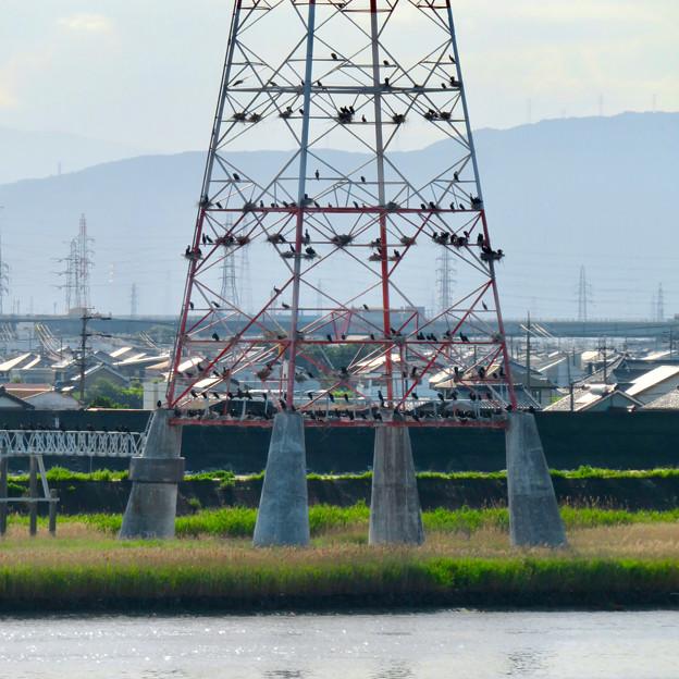 庄内川と新川の間にある送電線鉄塔の上に沢山のカワウの巣!? - 10