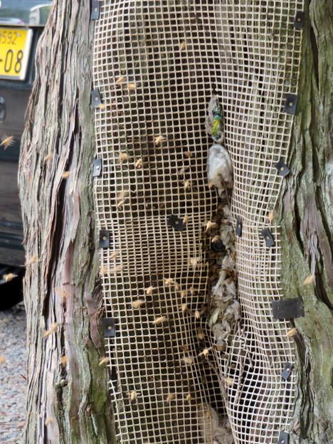 尾張富士浅間神社の境内の木にあるミツバチの巣 - 2