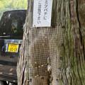Photos: 尾張富士浅間神社の境内の木にあるミツバチの巣 - 3
