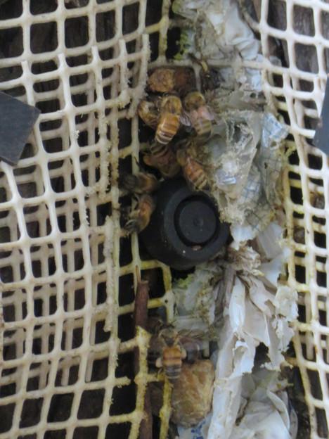 尾張富士浅間神社の境内の木にあるミツバチの巣 - 4