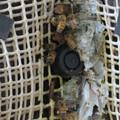 Photos: 尾張富士浅間神社の境内の木にあるミツバチの巣 - 4