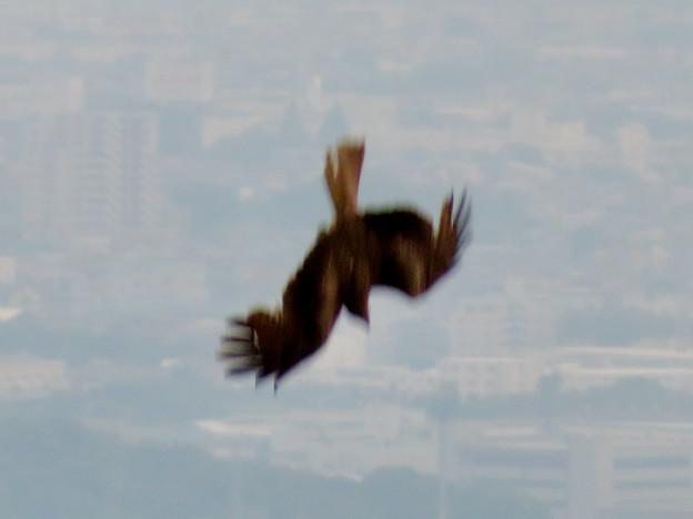 弥勒山山頂から撮影した滑空するトンビ(トビ) - 19:急滑降