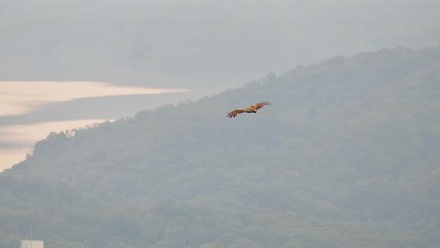 弥勒山山頂から撮影した滑空するトンビ(トビ) - 50