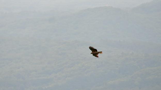 弥勒山山頂から撮影した滑空するトンビ(トビ) - 51