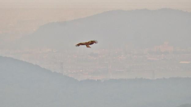 弥勒山山頂から撮影した滑空するトンビ(トビ) - 52