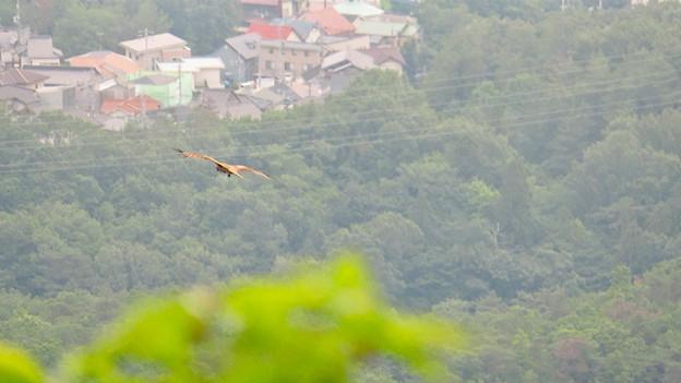 弥勒山山頂から撮影した滑空するトンビ(トビ) - 53
