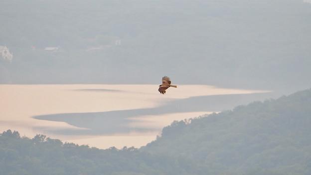 弥勒山山頂から撮影した滑空するトンビ(トビ) - 54:入鹿池