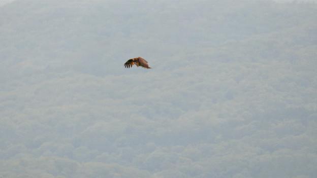 弥勒山山頂から撮影した滑空するトンビ(トビ) - 55