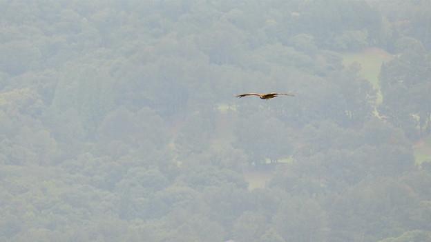 弥勒山山頂から撮影した滑空するトンビ(トビ) - 56