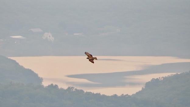 弥勒山山頂から撮影した滑空するトンビ(トビ) - 57:入鹿池