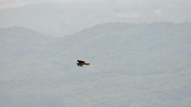 弥勒山山頂から撮影した滑空するトンビ(トビ) - 58