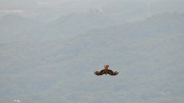 弥勒山山頂から撮影した滑空するトンビ(トビ) - 59:急滑降