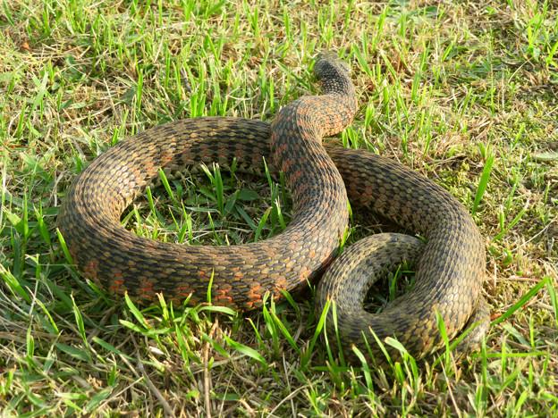 落合公園にいた毒蛇「ヤマカガシ」 - 7
