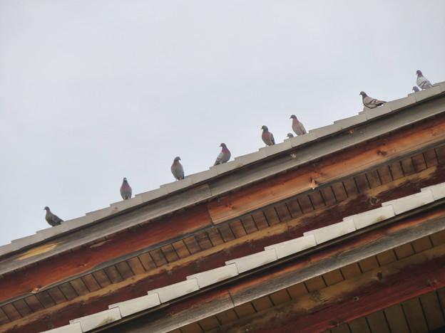 落合公園管理棟の屋根の上に並んでいたハト - 1
