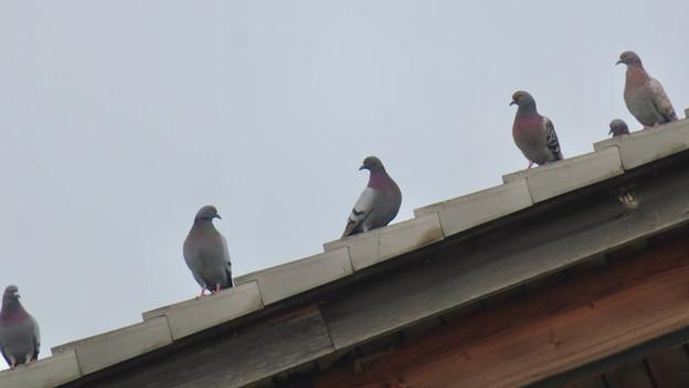 落合公園管理棟の屋根の上に並んでいたハト - 2