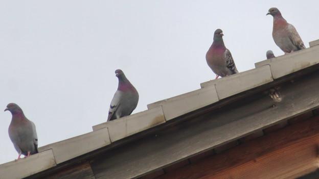 落合公園管理棟の屋根の上に並んでいたハト - 3