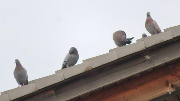 落合公園管理棟の屋根の上に並んでいたハト - 4