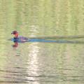 宮滝大池にいたカイツブリ - 8