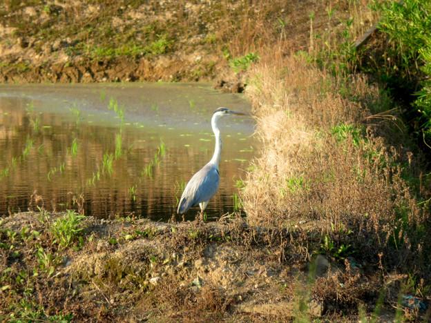 宮滝大池近くの田んぼにいたアオサギ - 1